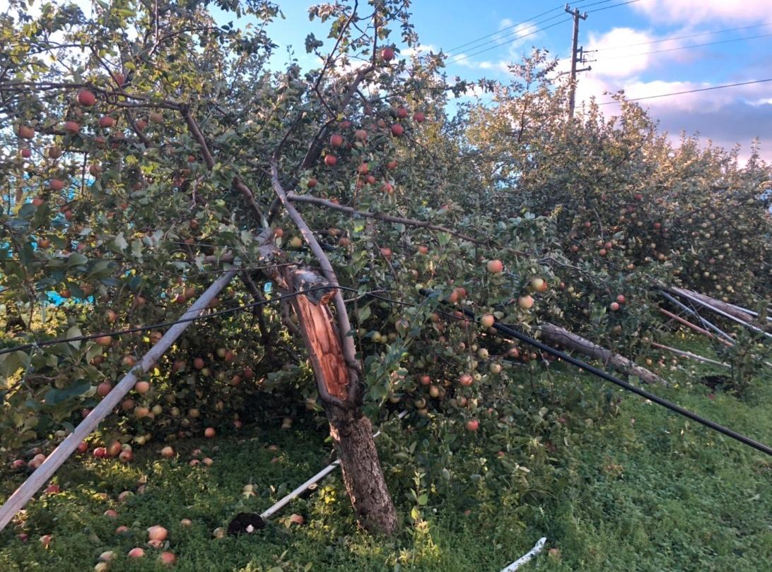 【画像】長野の台風によるりんご被害